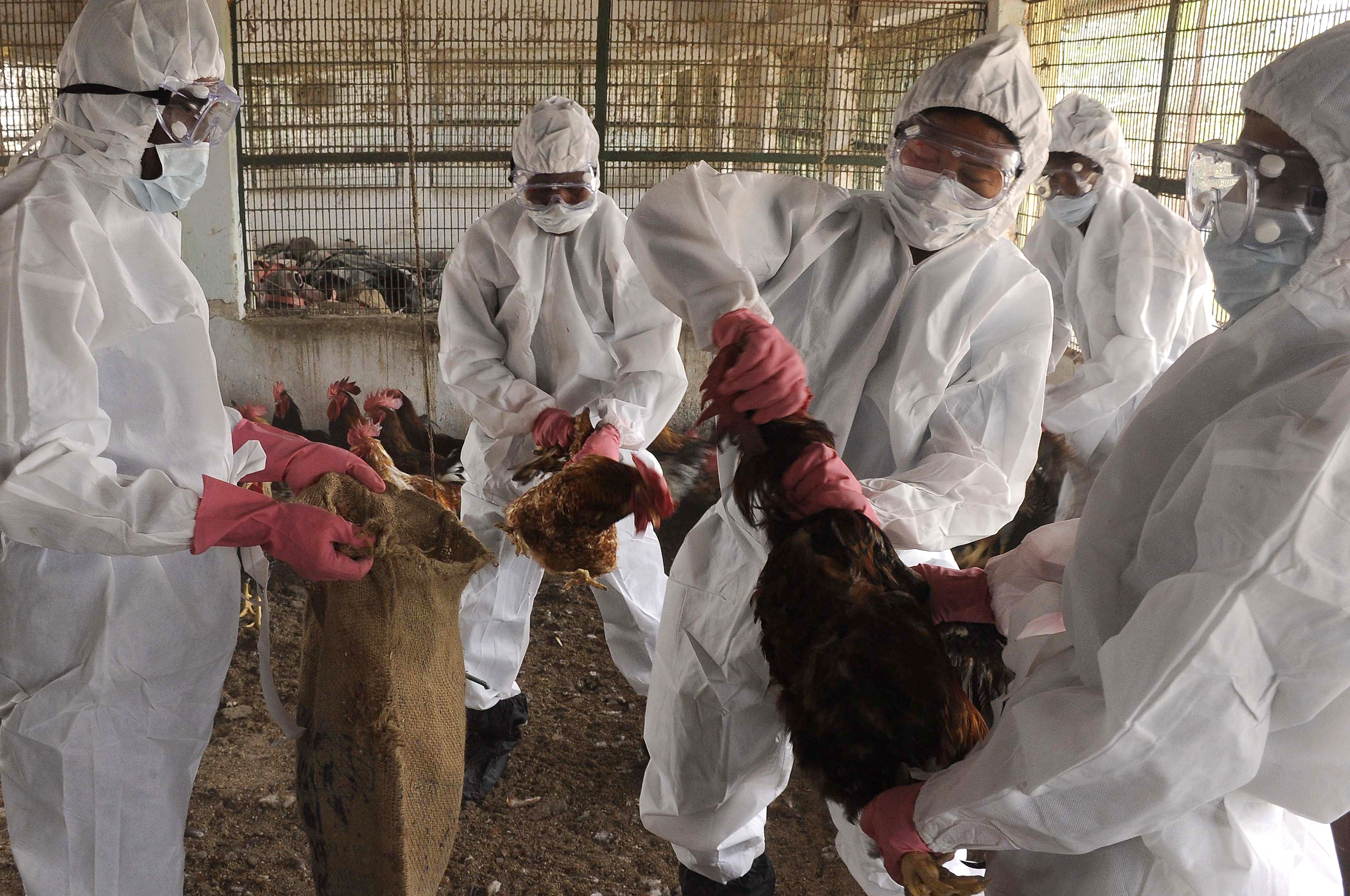 Indian poultry farm workers cull chickens during an operation after an outbreak of avian flu at a government poultry farm in Gandhigram, on the outskirts of Agartala, capital of northeastern state of Tripura on January 16, 2016.