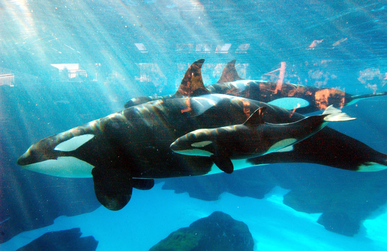 kasatka matriarch seaworld killer whale dies