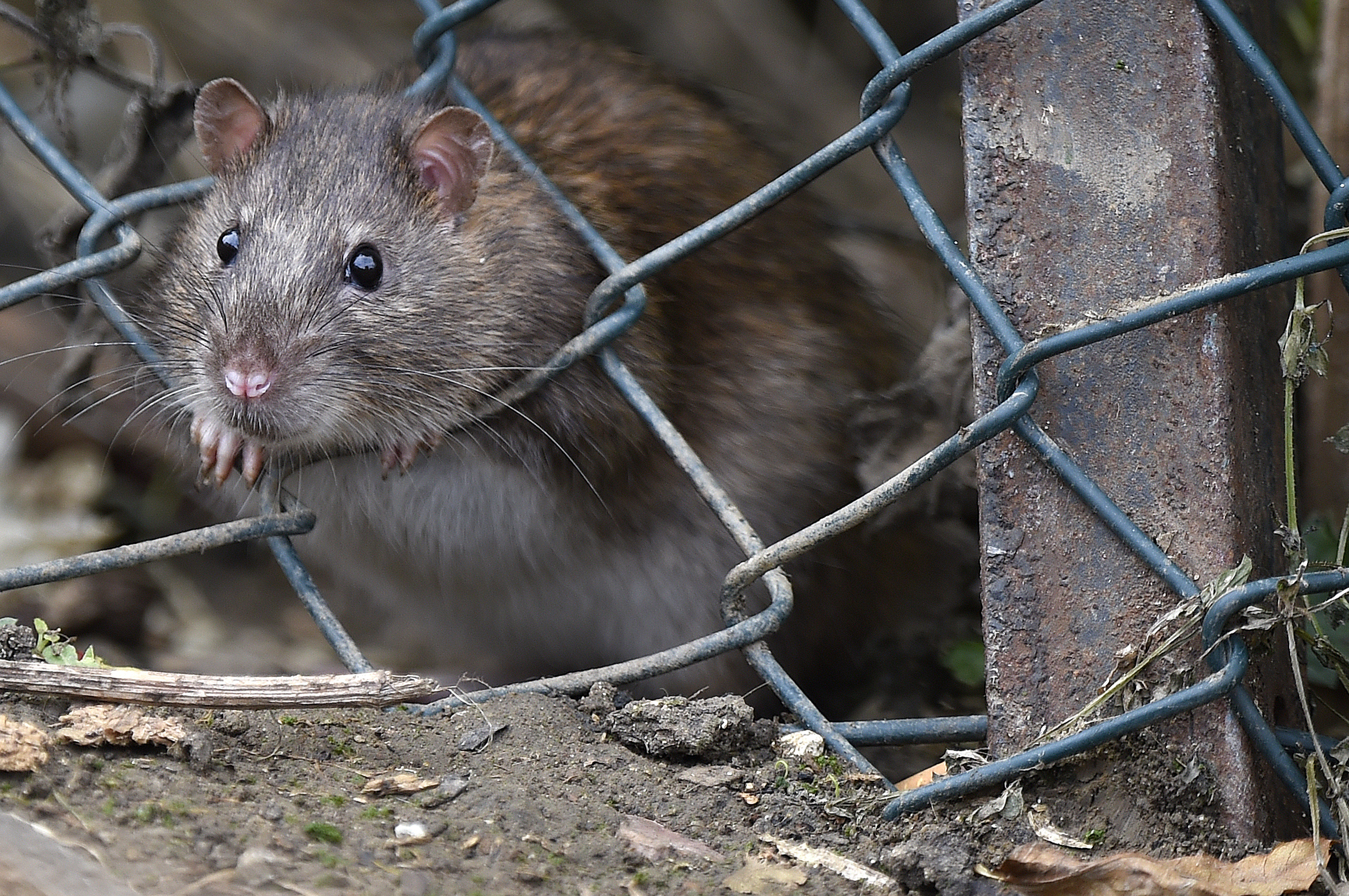 Rat Infestation At Motorway Services In United Kingdom
