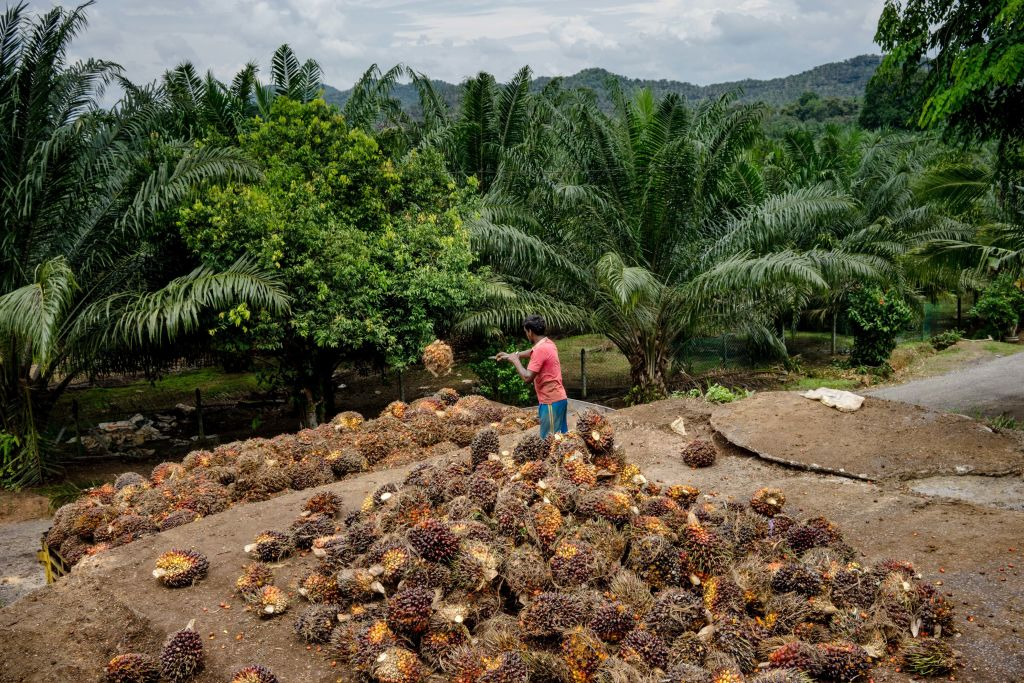 Workers Harvest Fruit At A Palm Oil Plantation
