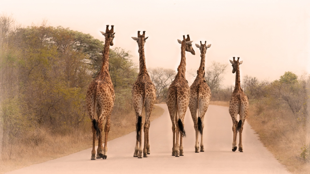 five giraffes on the road