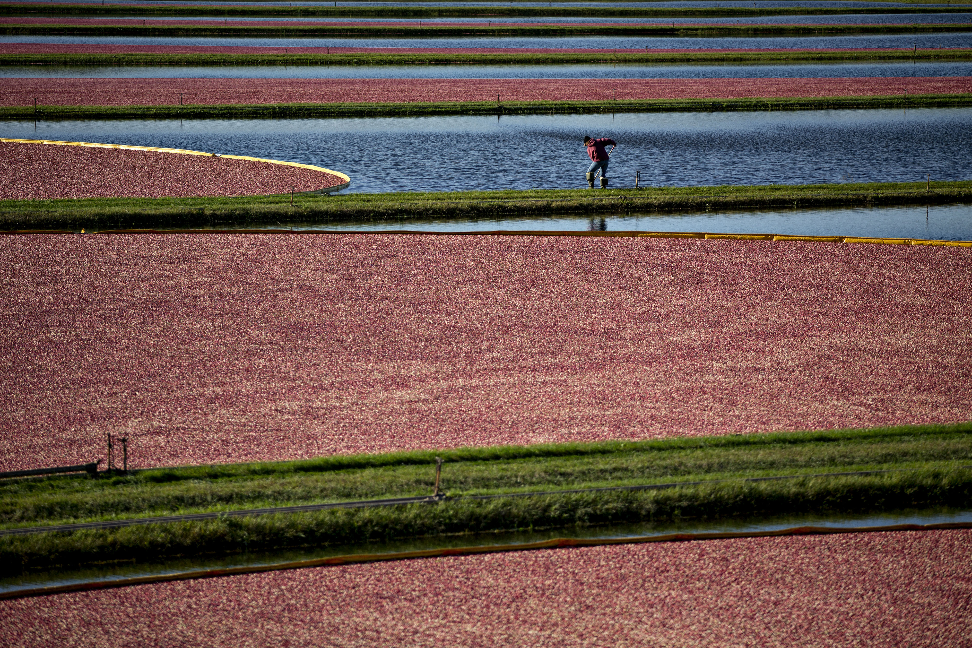 A Cranberry Harvest As Wisconsin Leads The U.S. In Production