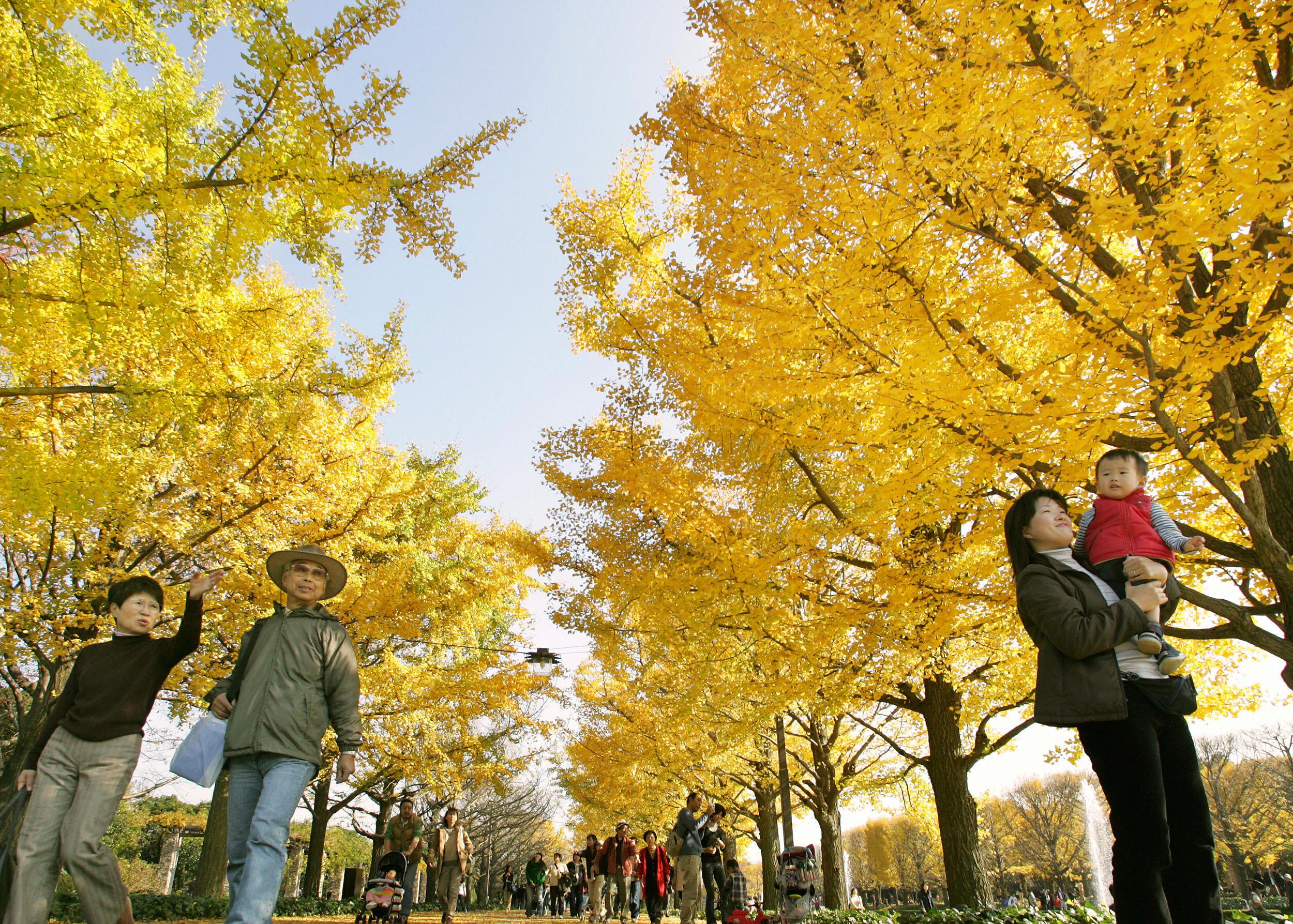 People take a stroll under ginkgo yellow
