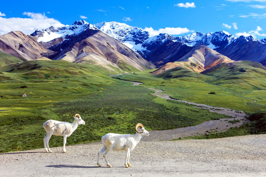 Dall Sheep at the Polychrome Overlook