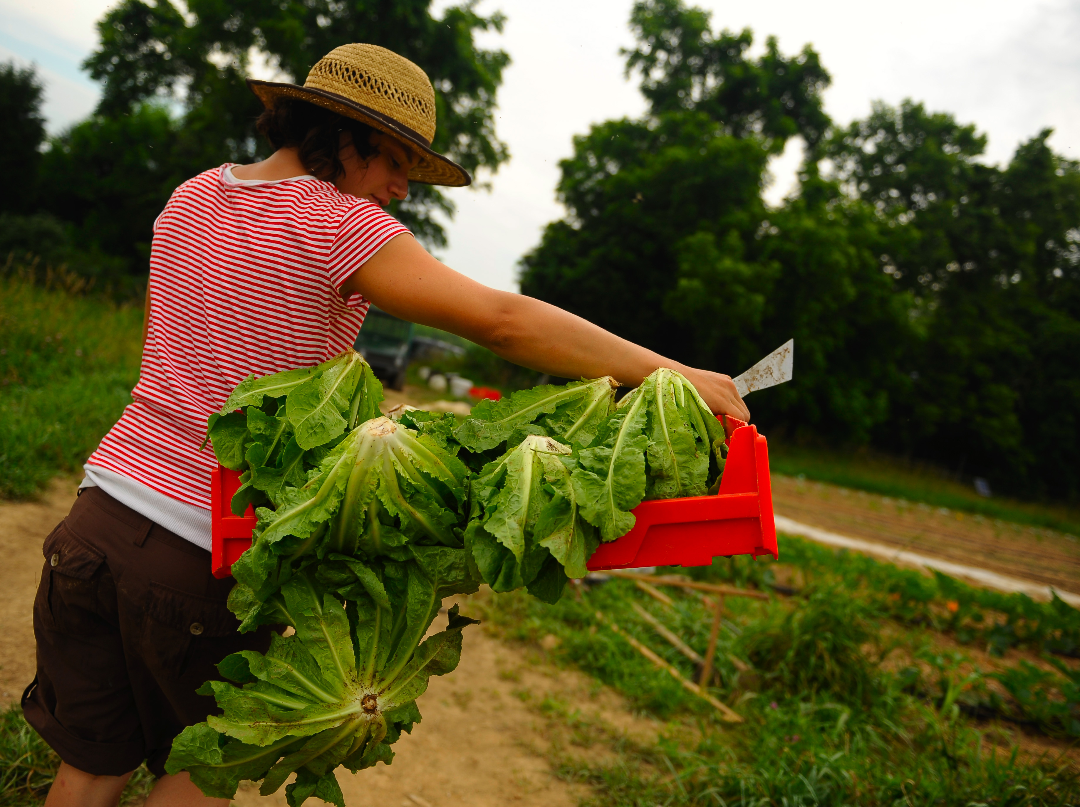 A woman farmer carries a bushel of romaine lettuce heads.