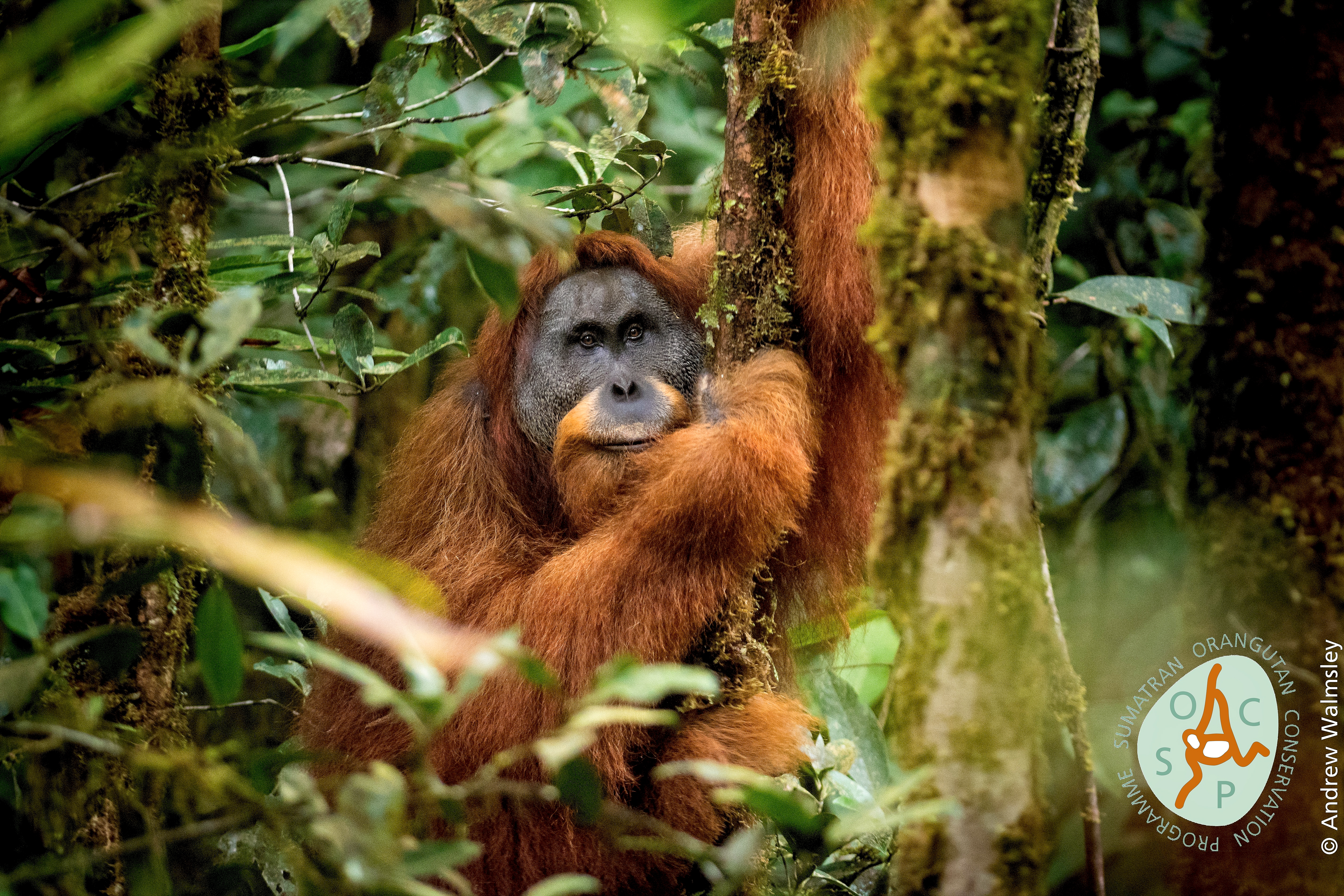 Pongo tapanuliensis is the most imperiled great ape in the world. Only an estimated 800 individuals exist in fragmented habitat in Sumatra.