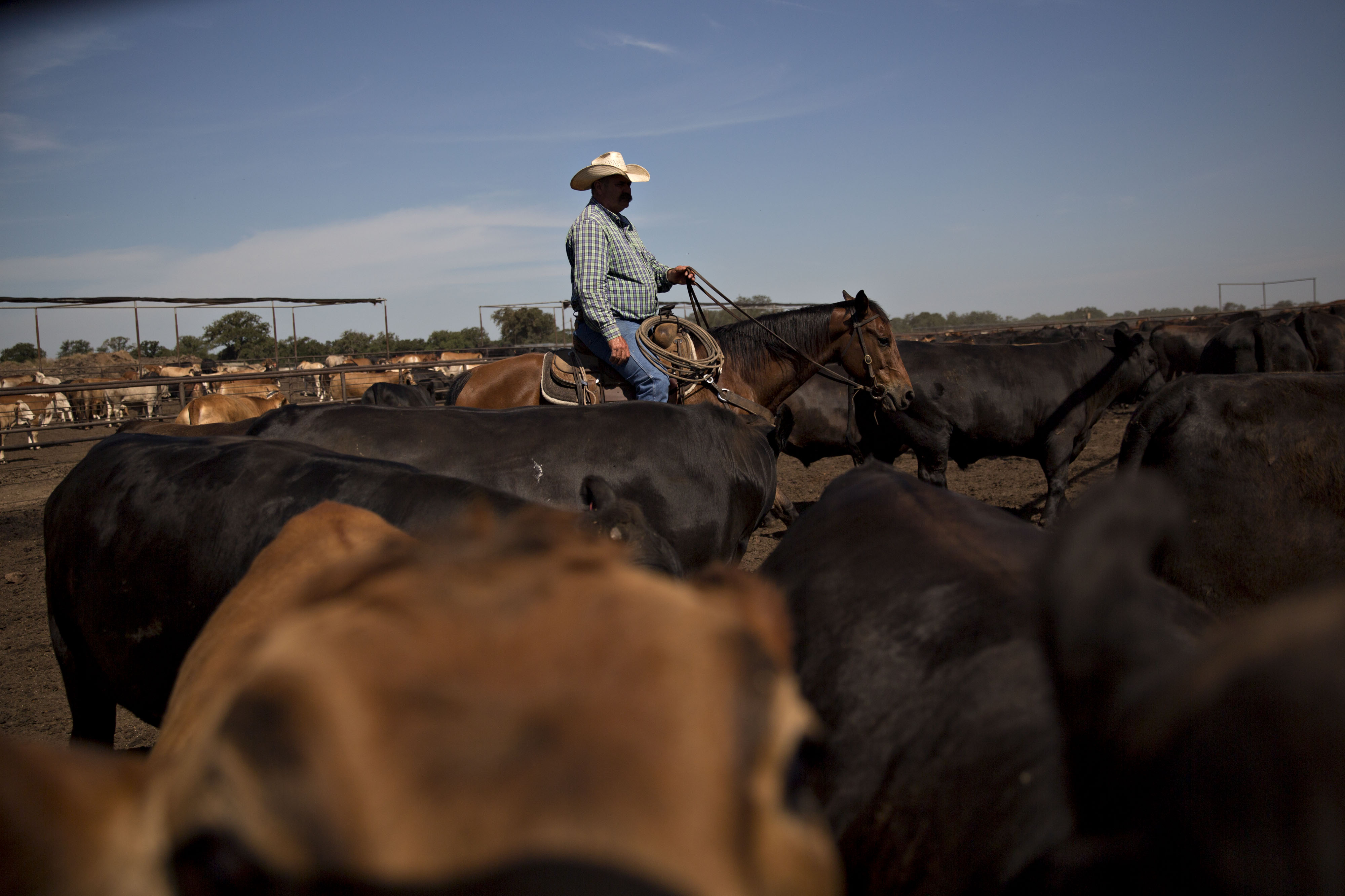 Operations At Texana Feeders Beef Cattle Feedlot As Trump Led U.S. To Brink Of Trade War