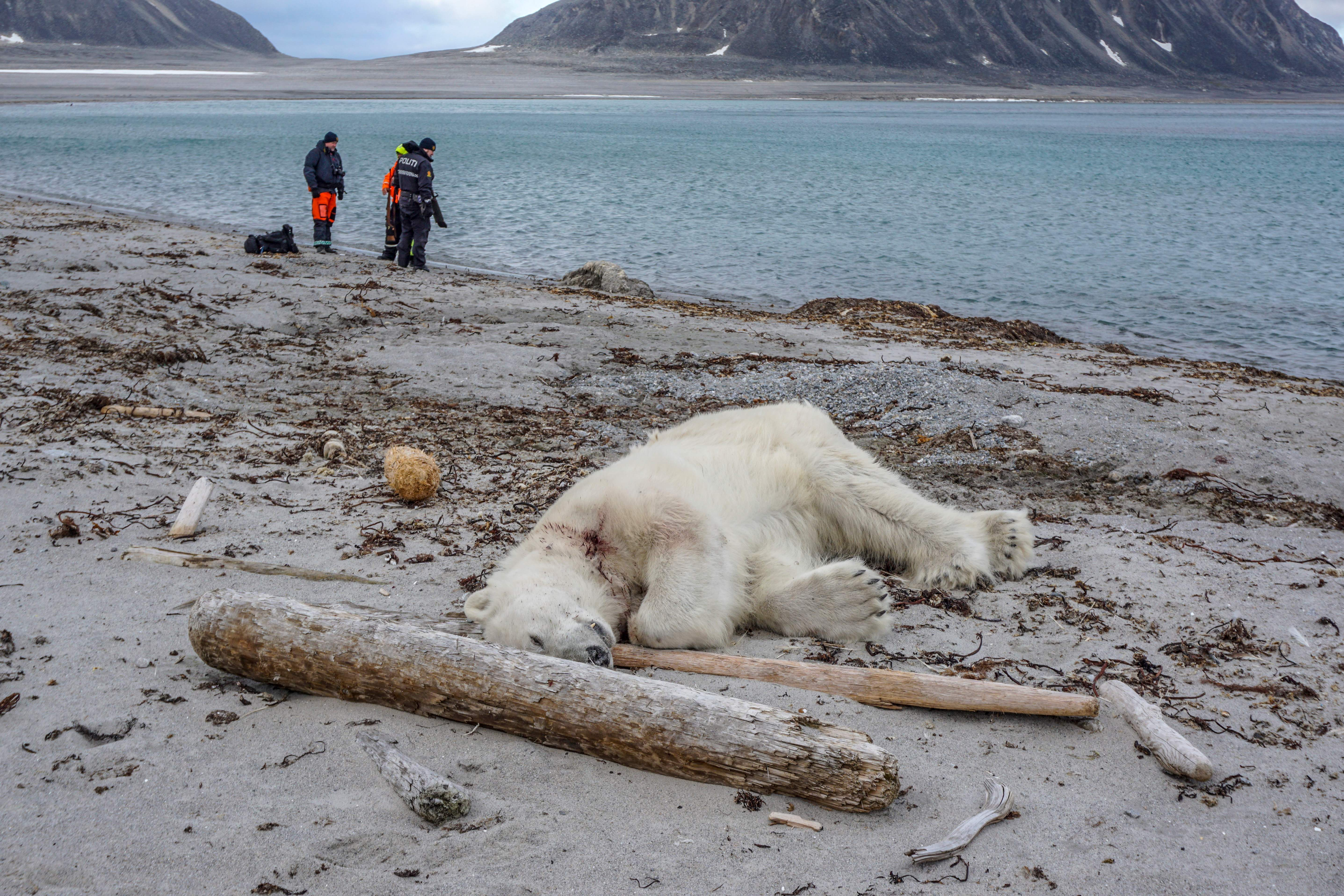 TOPSHOT-NORWAY-ARCTIC-ANIMALS-POLAR-BEAR