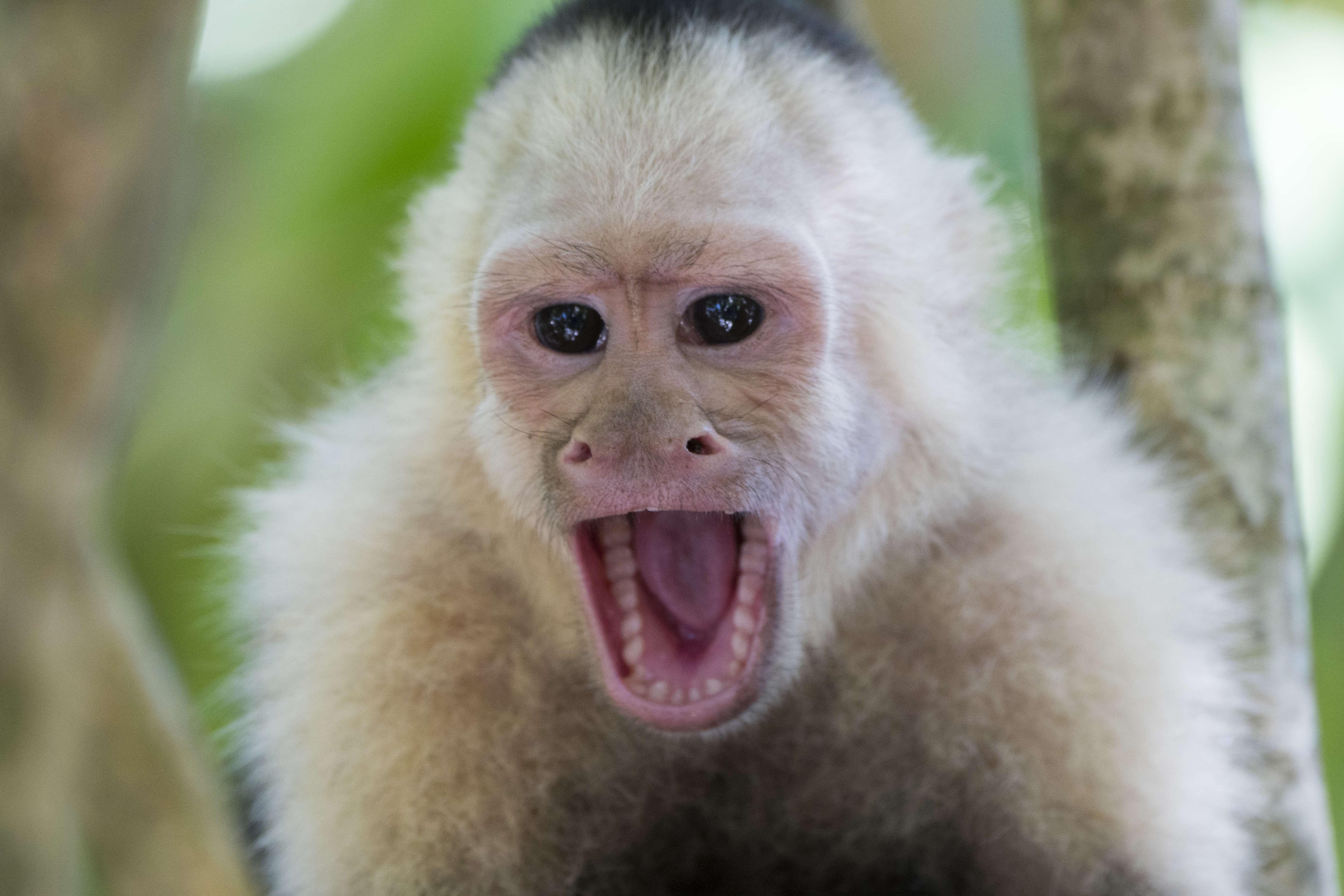 Close-up of a white-faced capuchin monkey (Cebus capucinus)