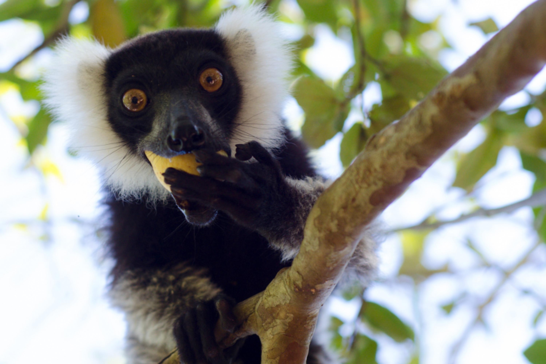 Lemurs facing extinction