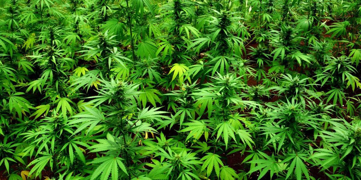 Aurora Cannabis Stock Trading Suspended on Robinhood Because Demand Grew Too, Um, High