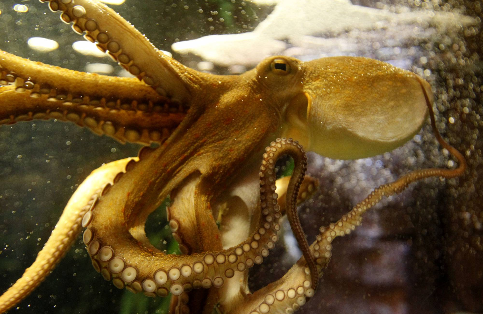 Octopus Ophira is pictured as it predicts Germany's victory in Women's World Cup soccer match at Sea Life Aquarium in Berlin
