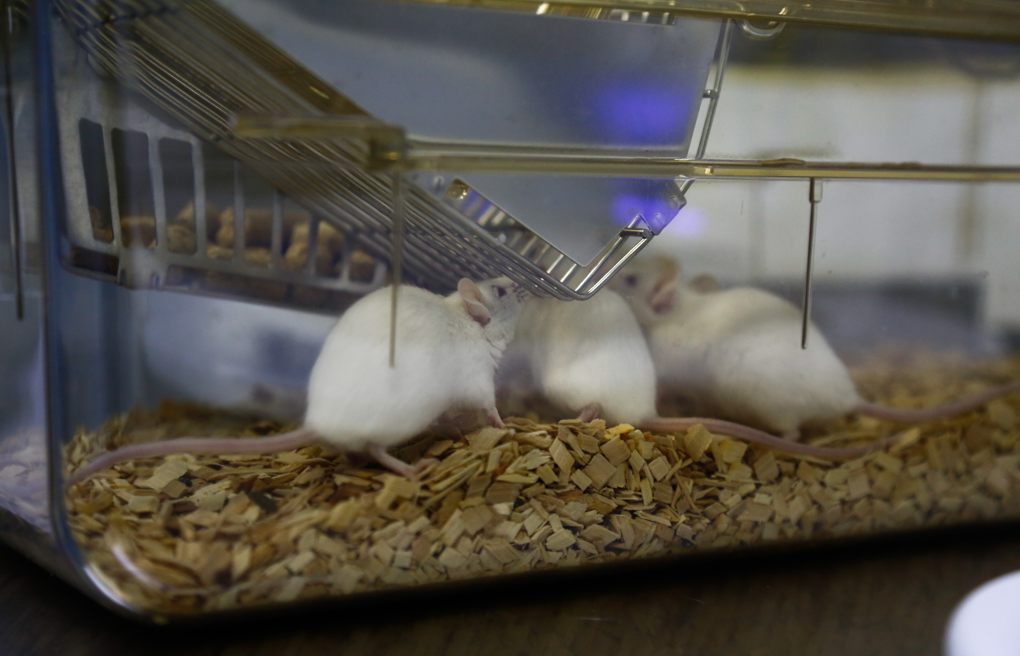 Lab Mice Live In Individually Ventilated Cages Worth 100 Thousand Yuan Per Square Meter In Guangzhou