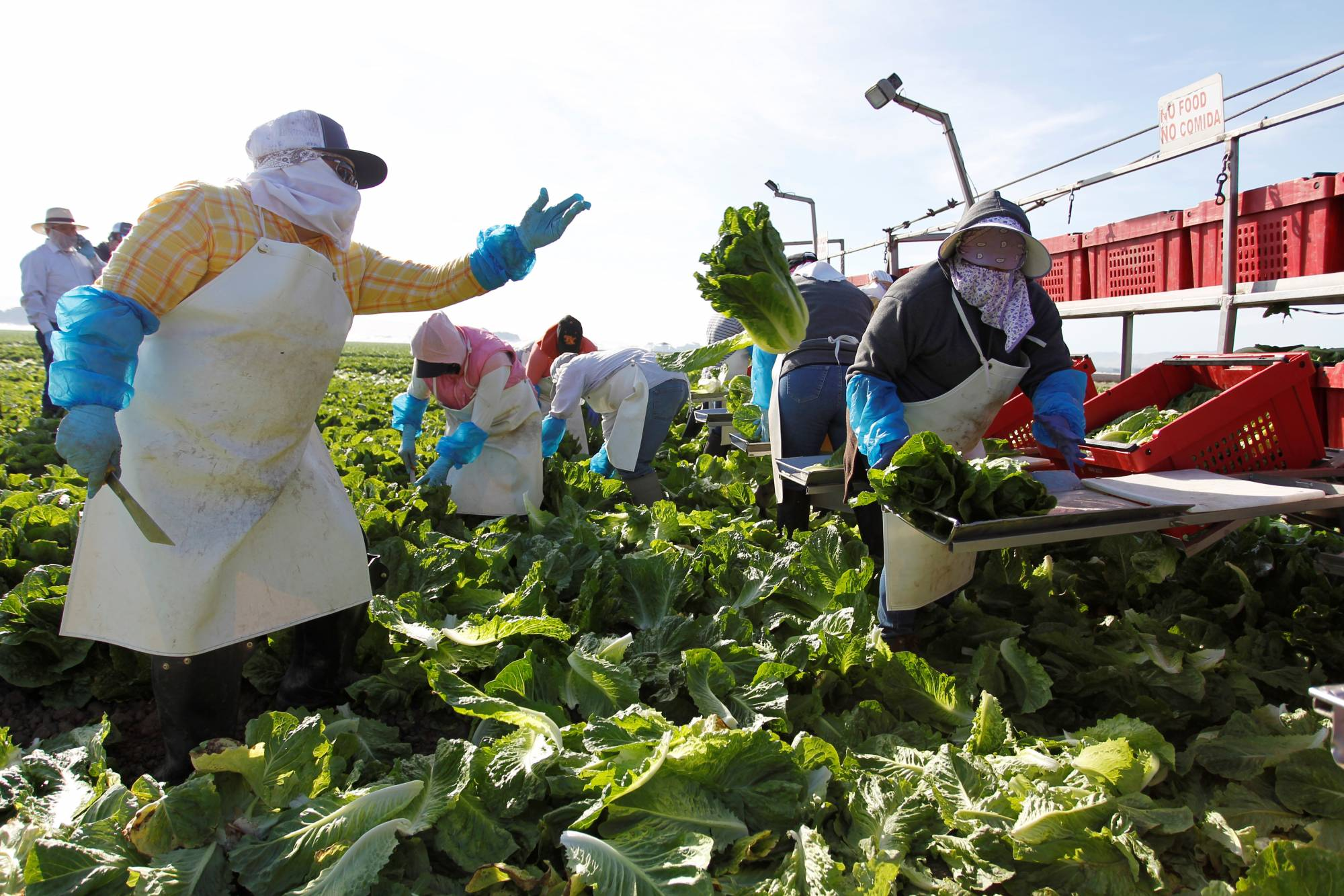 A crew harvests romaine lettuce by hand near Soledad