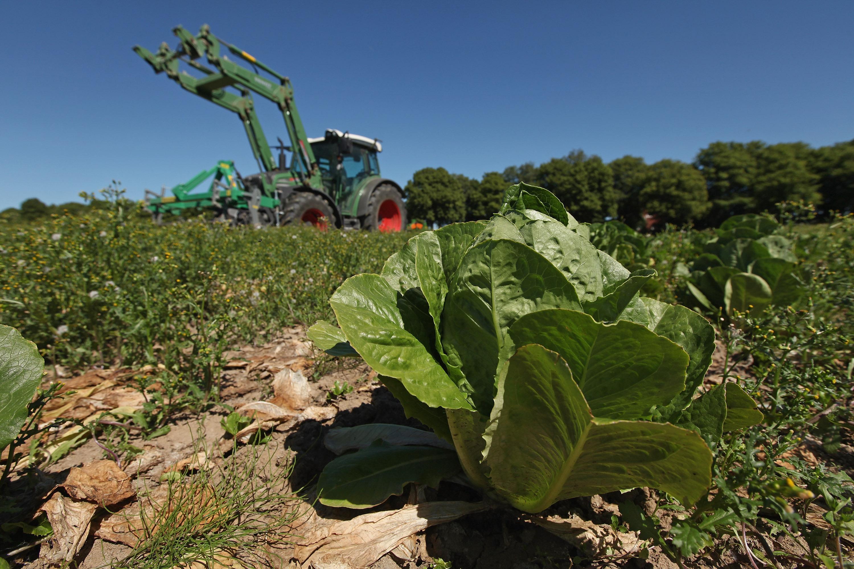 farm romaine lettuce