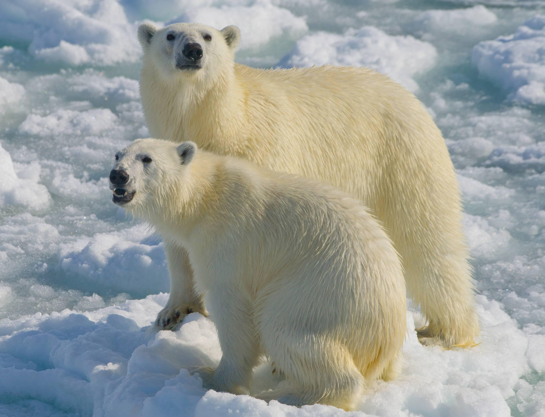 Polar bears on Arctic ice