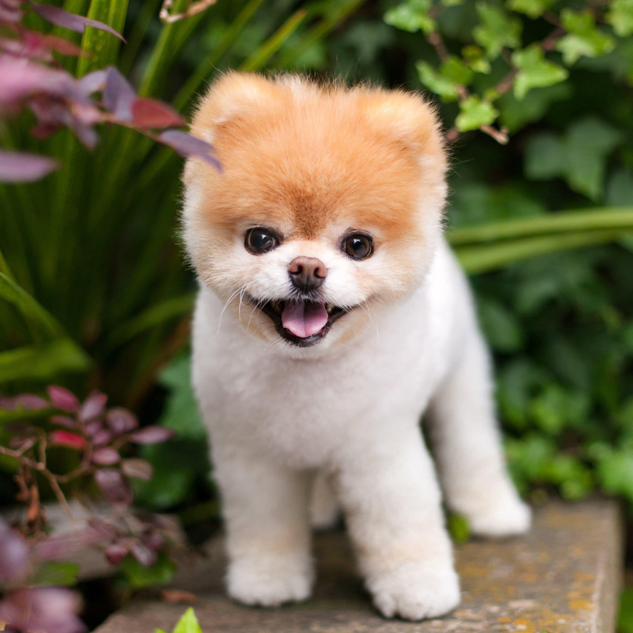 Social Media Star Boo World S Cutest Dog Dies At 12 Fortune