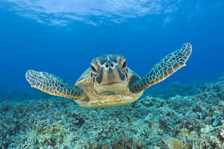 Green Turtle, Maui, Hawaii, USA