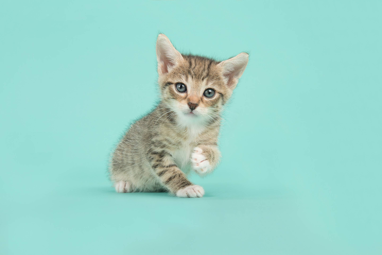 Portrait Of Tabby Kitten Sitting Against Turquoise Background