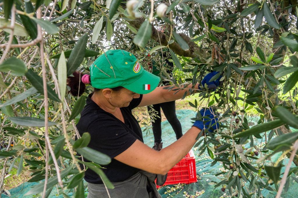 A worker during the olives harvest in southern Italy for the