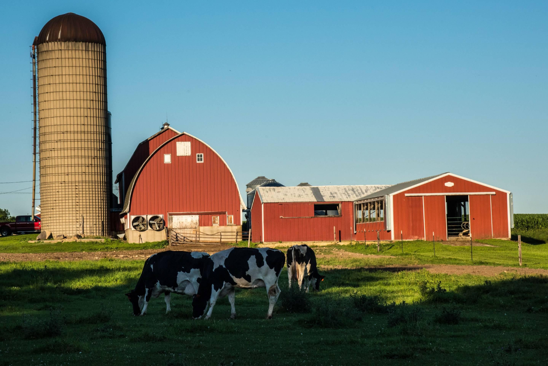 Dairy cows graze in pasture on farm, Milton, Wisconsin