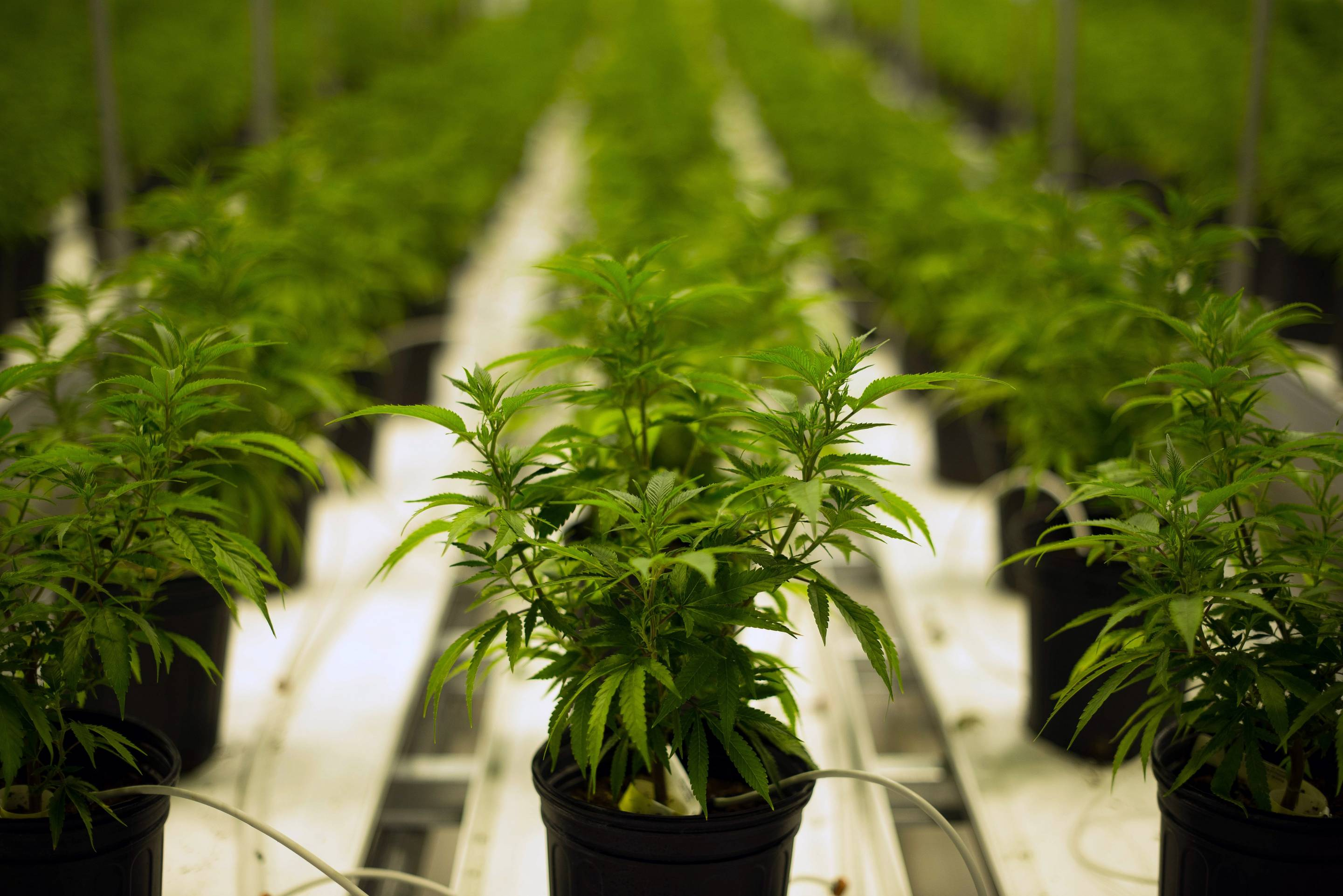 marijuana plants grow in a climate controlled growing room