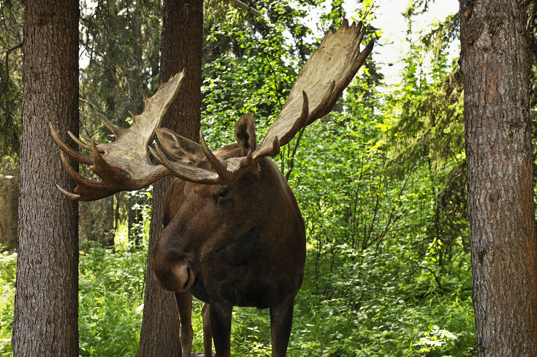Bull moose, Alces