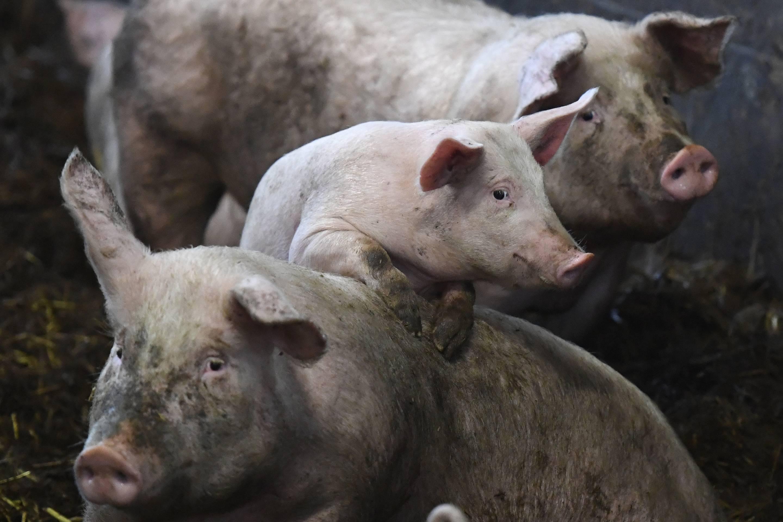 FRANCE-BREEDING-PIG-STRAW