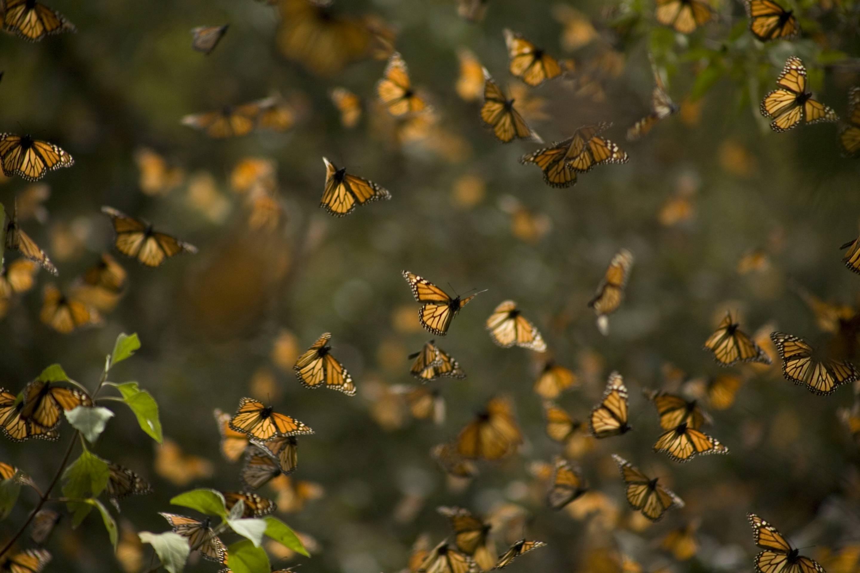 Monarch butterflies (Danaus plexippus) fly in Cerro Pelon Sanctuary for monarch butterflies near Capulin village in Mexico State, Mexico