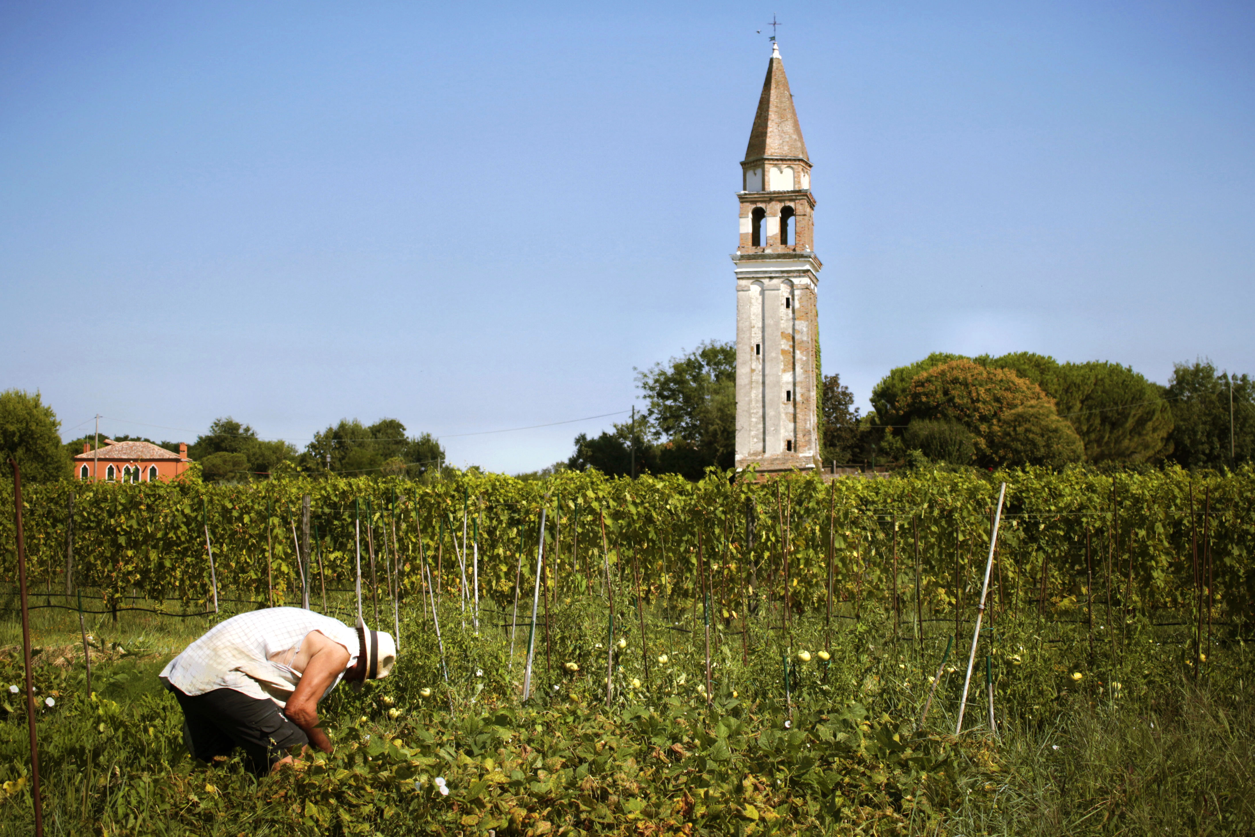 A man works in Venissa's vegetable garden yards from its vineyards.