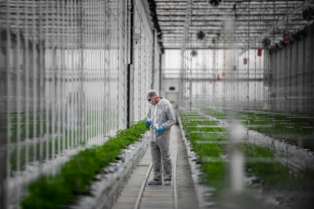 A worker checks cannabis plants in a greenhouse of Tilray medical cannabis producer's European production site in Cantanhede, Portugal. This year has marked a rapid expansion of Canadian cannabis companies in Europe.