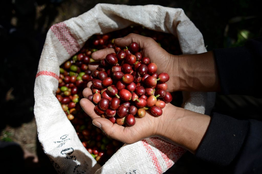 Coffee beans in Indonesia