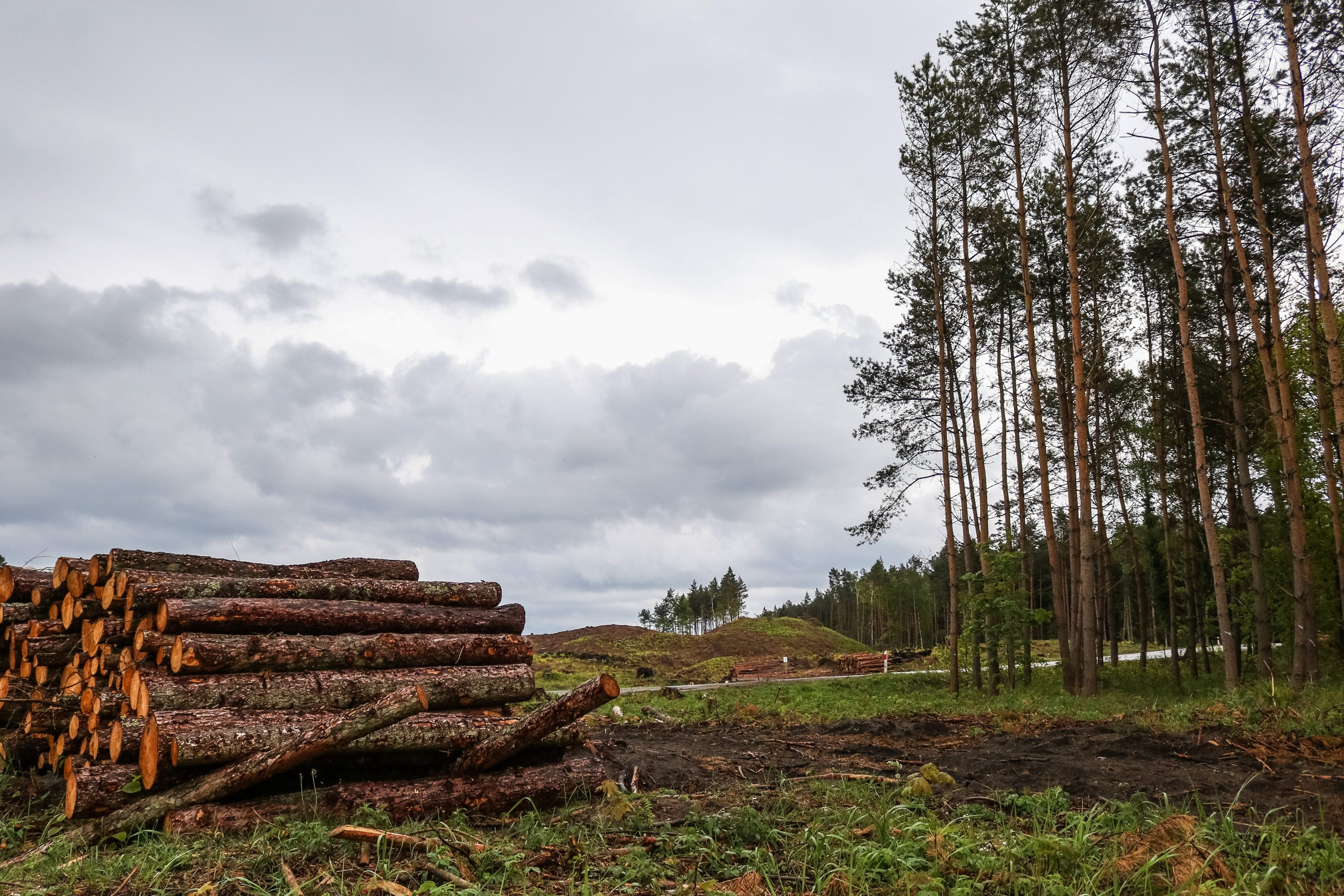 Mass forest logging place is seen between Skowronki village and Krynica Morska, Poland on 17 May 2019.