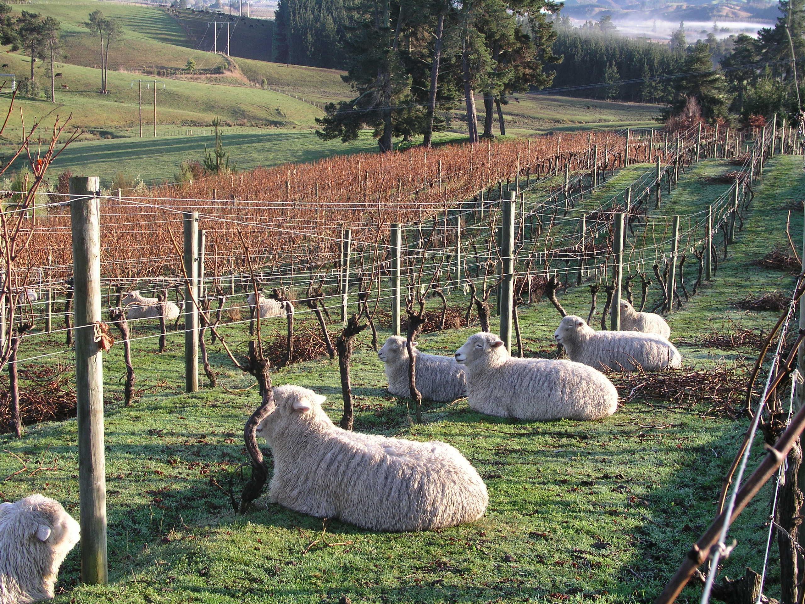 Himmelsfeld Vineyard
