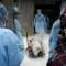 Pig Ebola in China-Pork Industry
