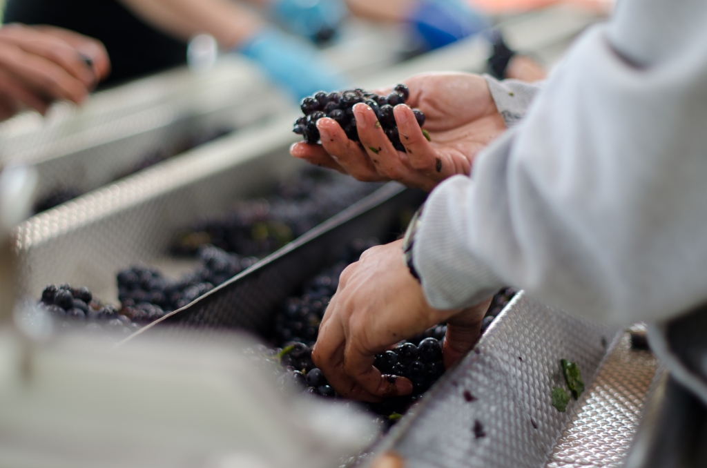 Sorting grapes at Heart & Hands