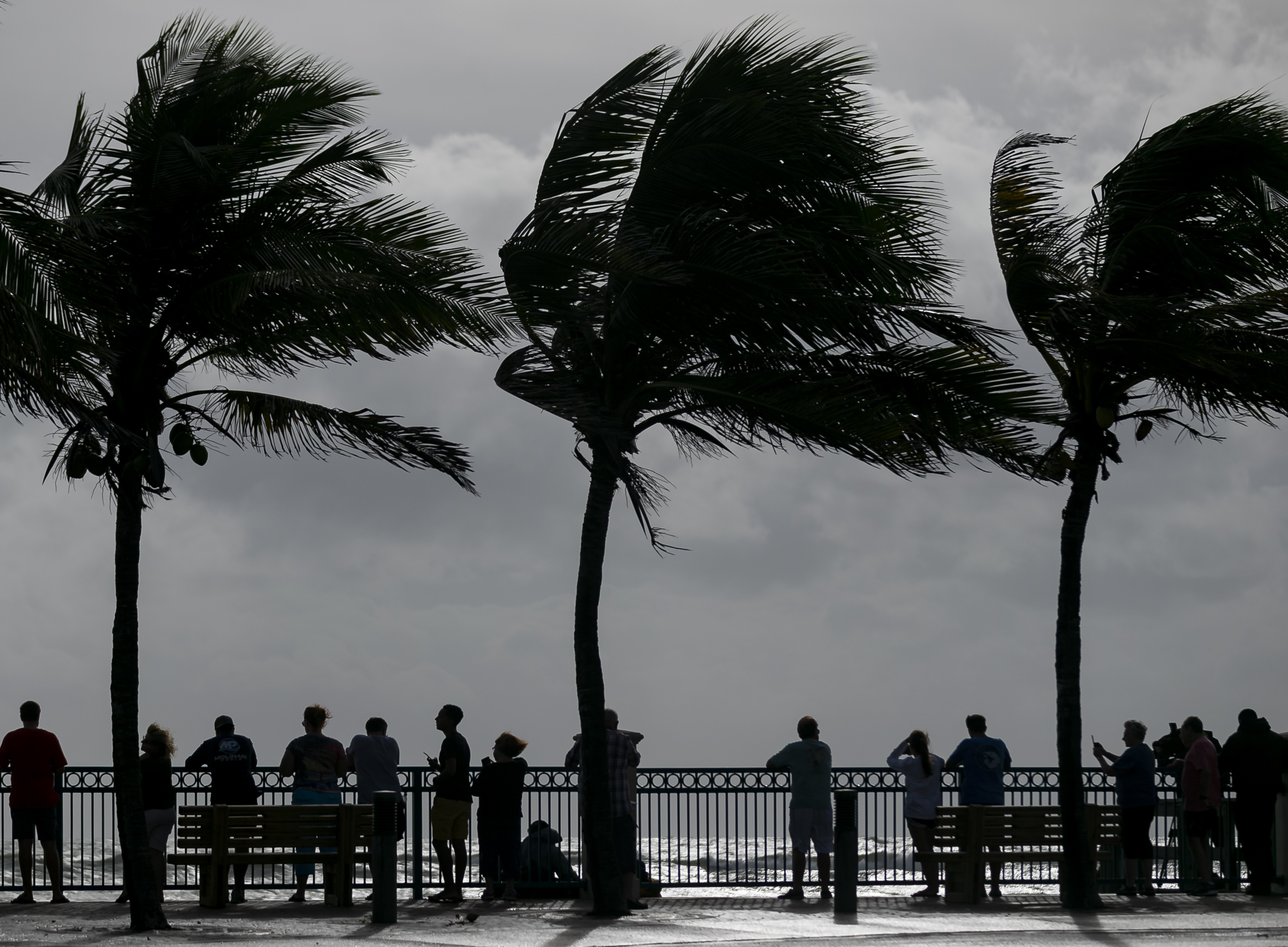Large palm trees are blown by the strong winds of Hurricane Dorian
