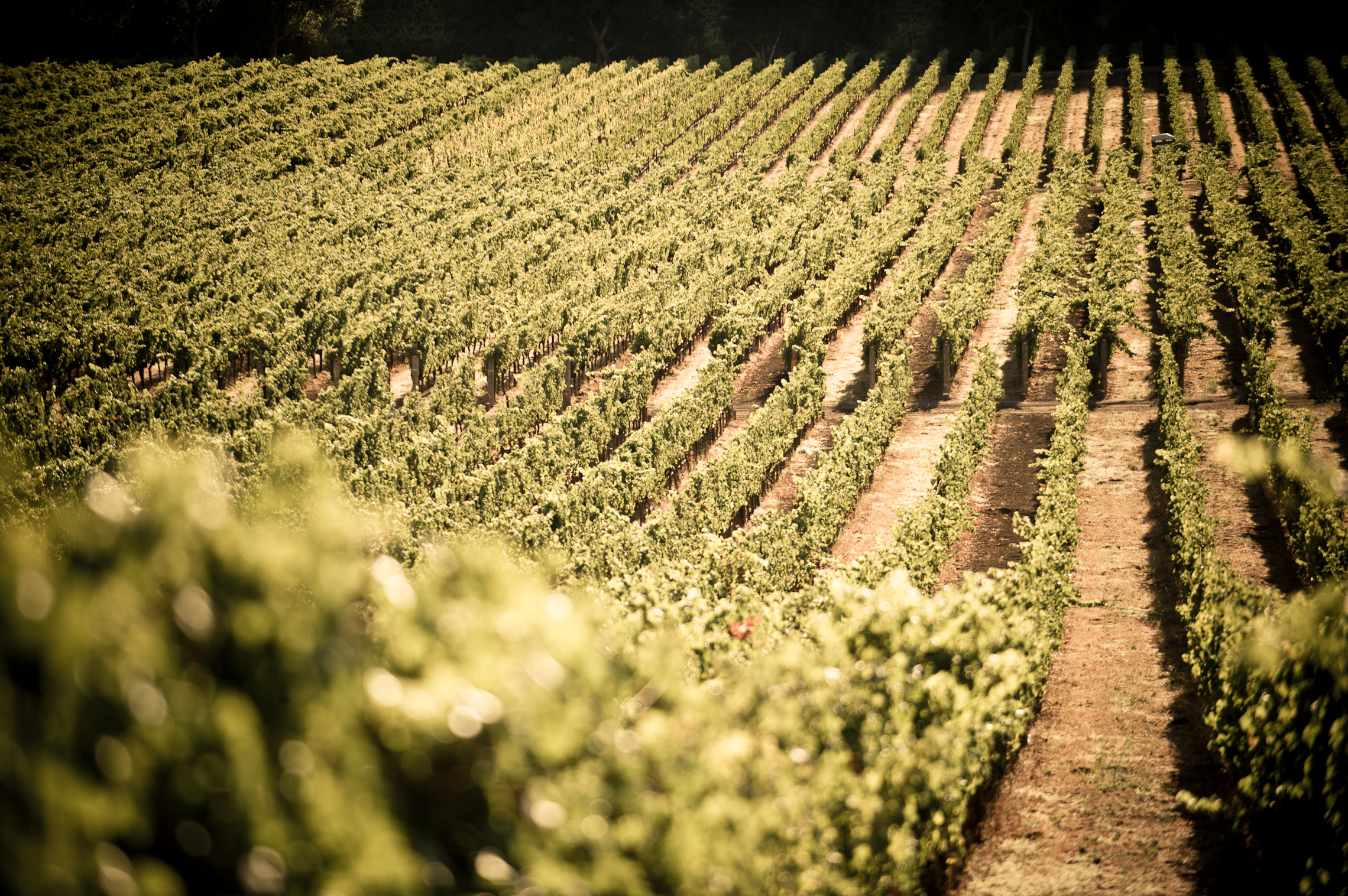 The vineyards at Stags' Leap Winery in Yountville, Calif.