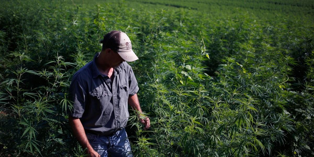 Legal Hemp and CBD Stir Farmers to Grow Unfamiliar Crop