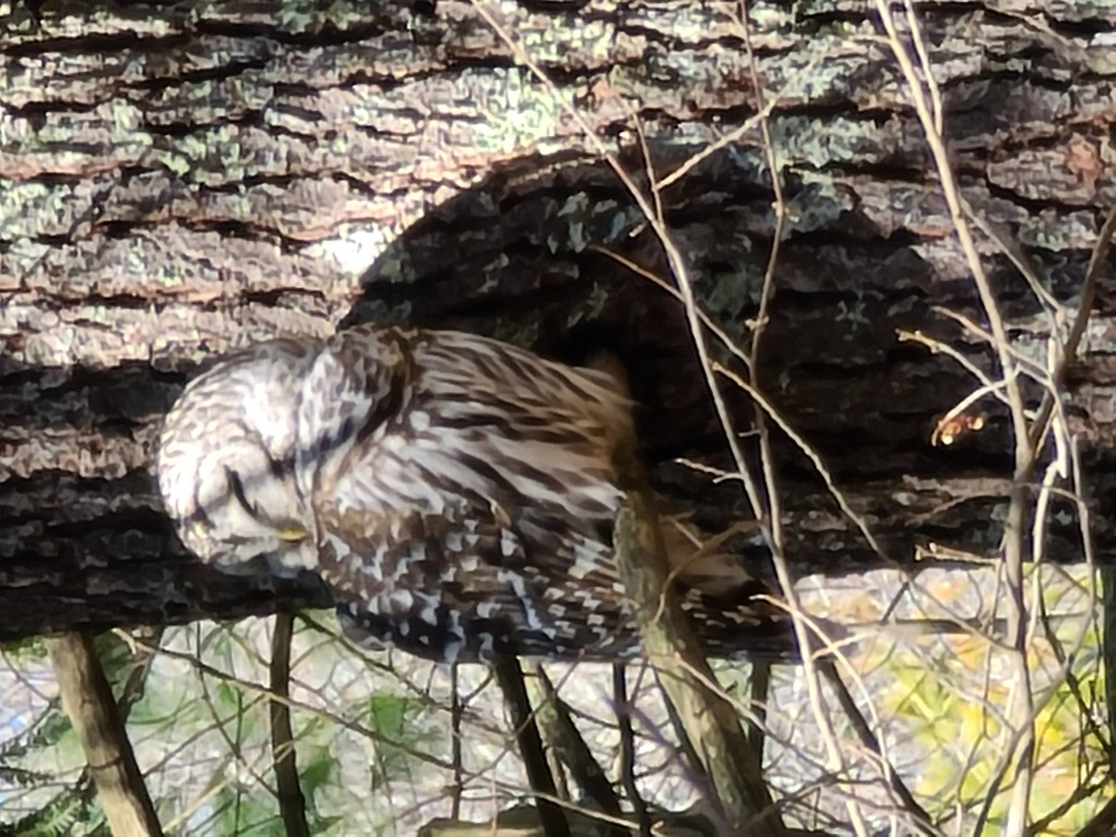 owl in the woods