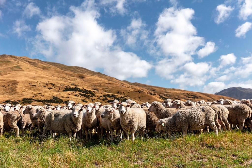 ALL.10.20.Merino-Sheep