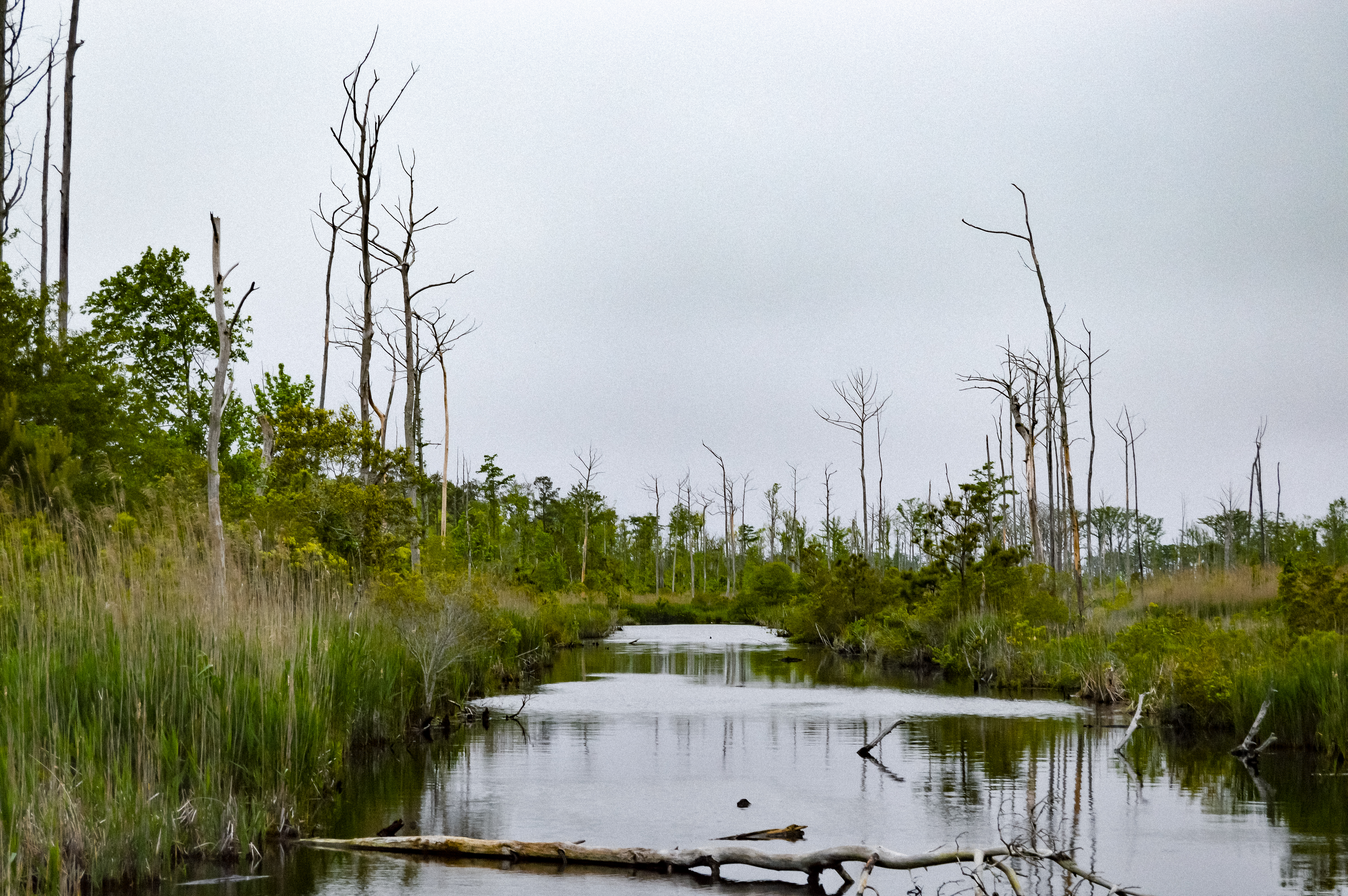 As seawater moves inland, 'ghost forests' are spreading. Why that's so scary thumbnail